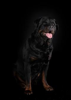 Rottweiler de race pure isolé sur fond noir