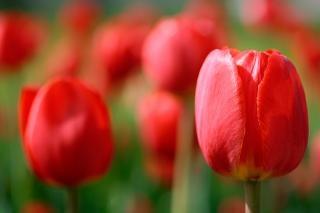 Rouge tulipes flou