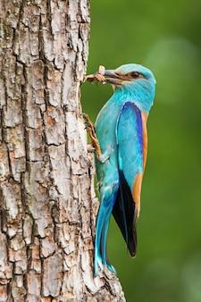 Rouleau européen assis sur l'écorce d'arbre avec des coléoptères en plume