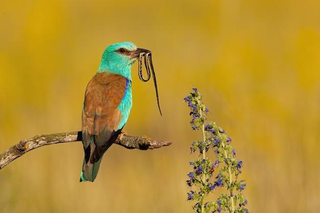Rouleau européen coloré assis sur une branche