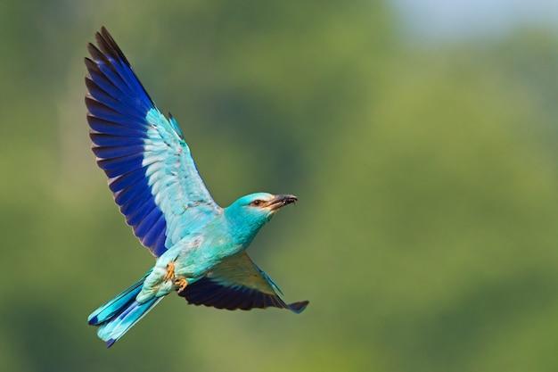 Rouleau européen volant dans le ciel avec fond vert
