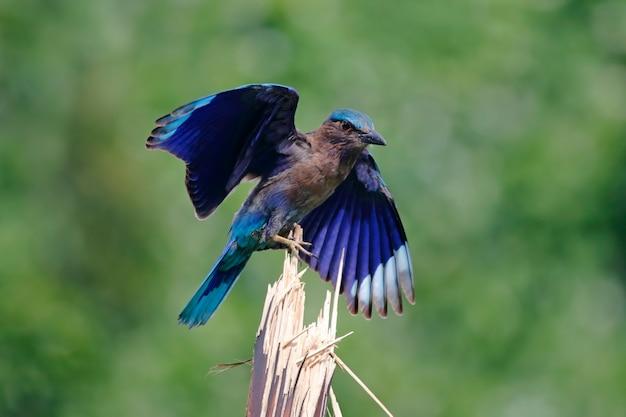 Rouleau indien coracias benghalensis beaux oiseaux de thaïlande