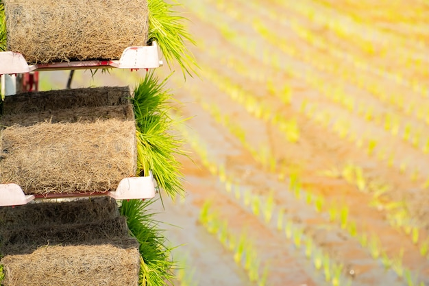 Rouleaux de semis de riz pour préparer l'agricutural sur plaque dans la rizière