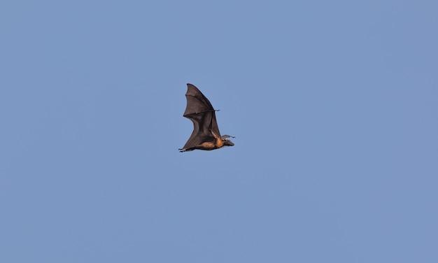 Roussette volant dans le ciel pteropus vampyrus