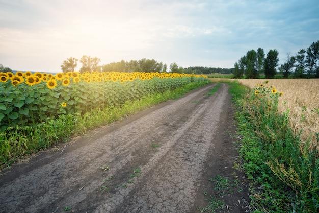 Route de campagne parmi les tournesols