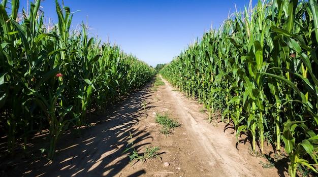 Route de campagne sablonneuse à travers les champs agricoles