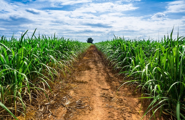 Route dans la ferme de canne à sucre avec un ciel bleu