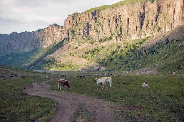 Route d'été dans les montagnes avec des vaches qui marchent dans le caucase