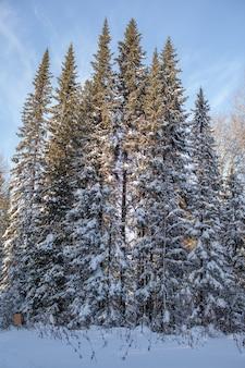Route d'hiver dans une forêt enneigée, grands arbres le long de la route.