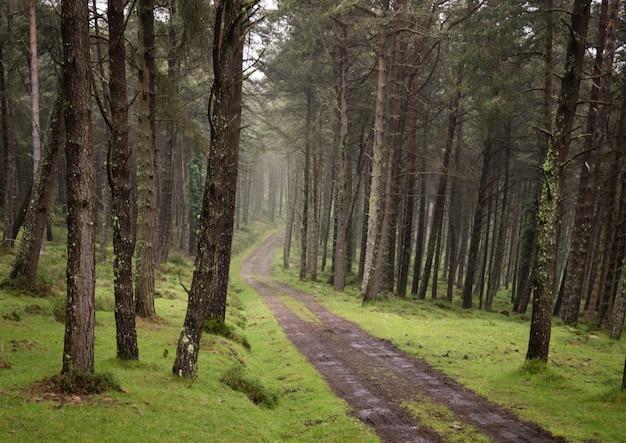 Route sinueuse de gravier à travers la forêt de pins verts ensoleillée éclairée par le brouillard.