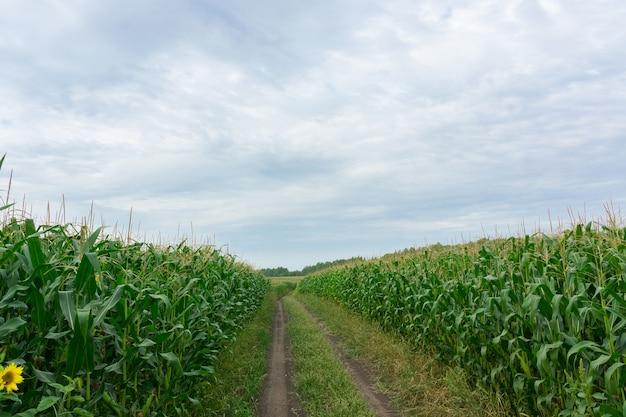 Route à travers les champs de maïs