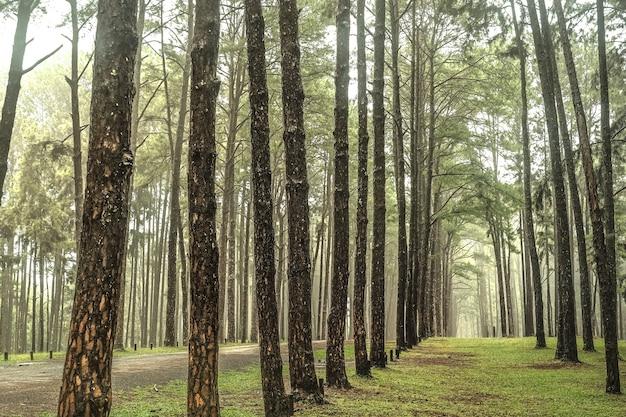 Route à travers la forêt de pins, vue de pins dans la forêt de conifères