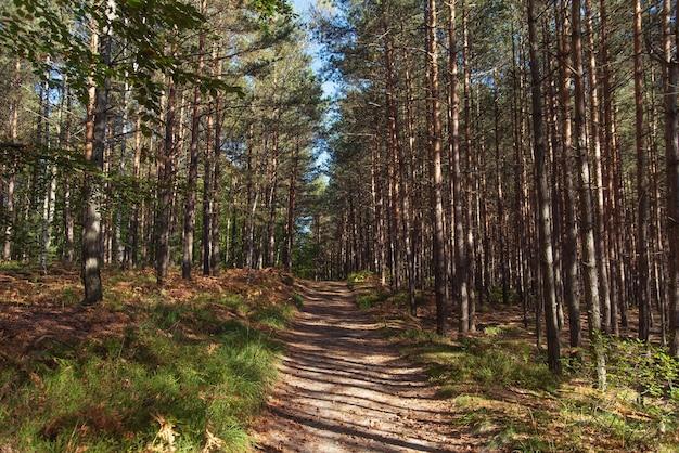Route vers la forêt de pins pendant la journée ensoleillée d'automne