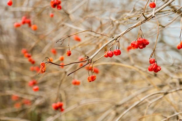 Rowan berries en automne