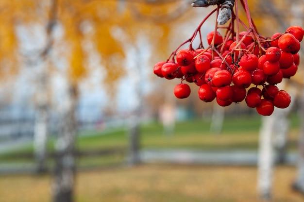 Rowan berry contre des arbres d'automne flous
