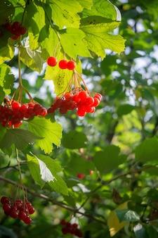 Rowan branches aux baies