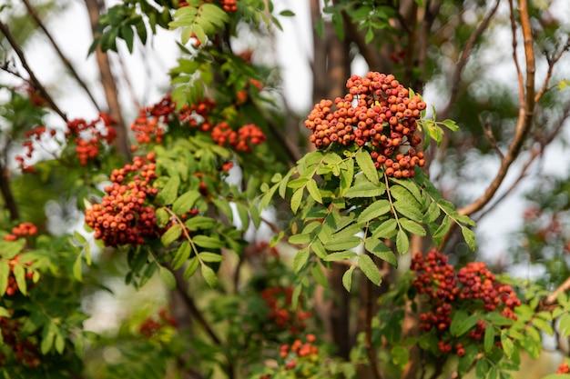 Rowan grappes qui poussent sur une branche avec un feuillage vert