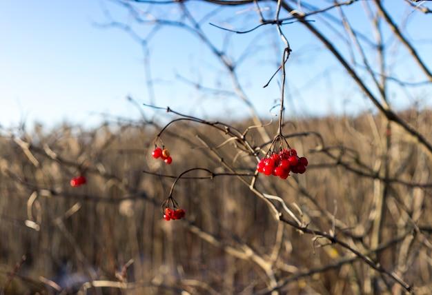 Rowan hiver sur branches nues