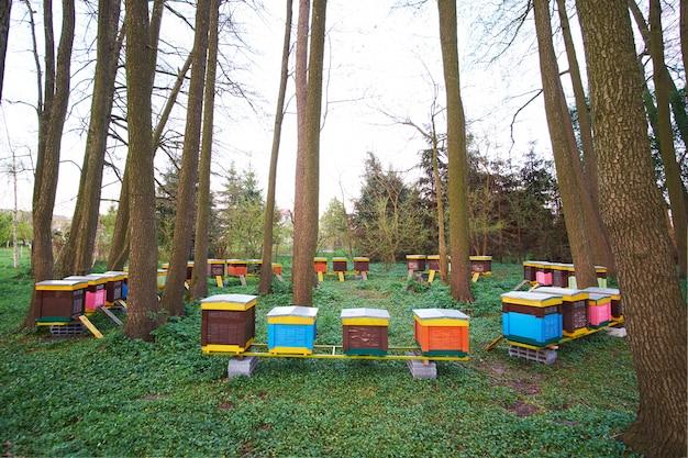 Ruches d'abeilles multicolores en forêt