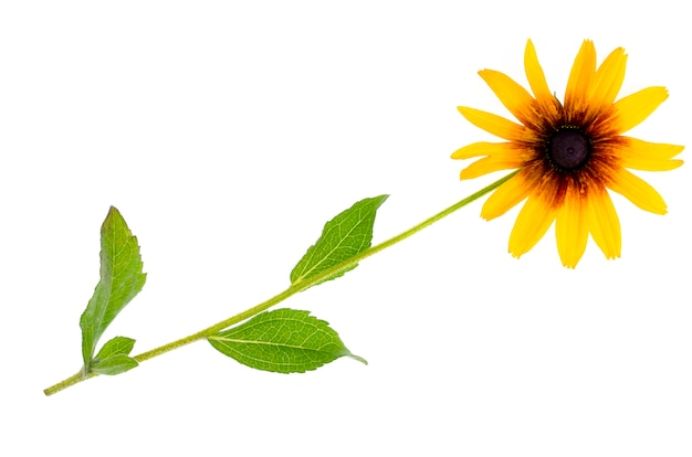 Rudbeckia été fleur jaune isolé sur fond blanc