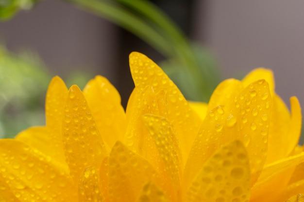 Rudbeckia fleurs close-up.