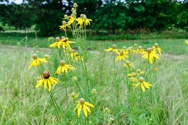Rudbeckia jaune vif ou black eyed susan fleurs