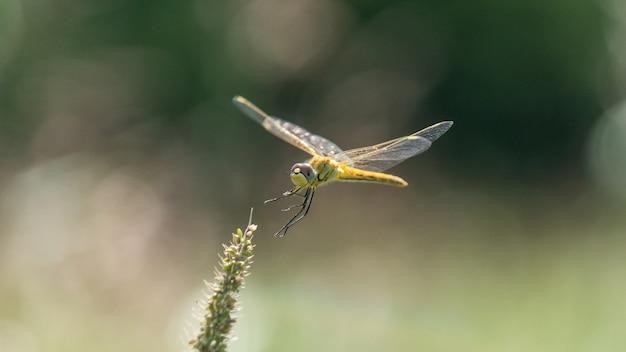 Ruddy darter dragonfly vole. soirée d'été dans le village de blagoveshenskaya. anapa, russie.