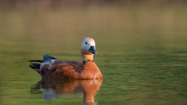 Ruddy shelduck, seul oiseau nage sur le lac.