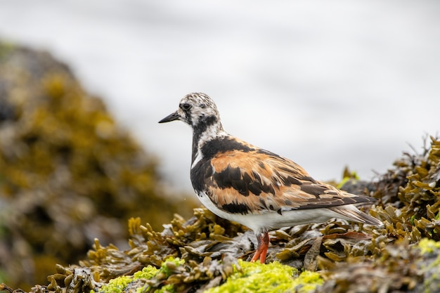 Ruddy turnstone oiseau sur un rocher couvert d'algues par l'océan