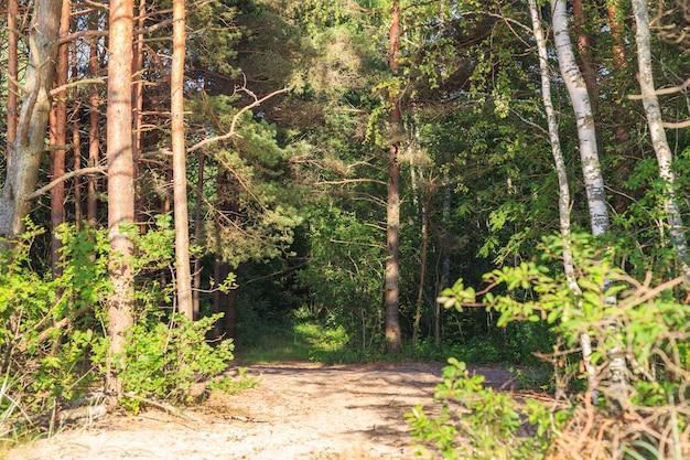 Ruelle dans une forêt de pins par une journée ensoleillée