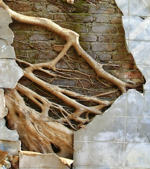 Ruine mur de béton avec grande racine d'arbre