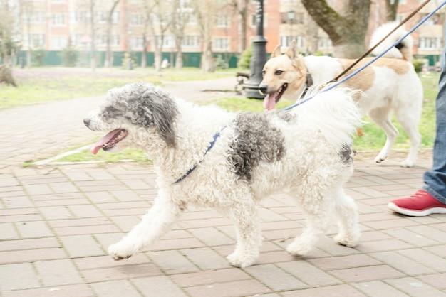 S'occuper d'un animal. promeneur de chien professionnel promenant une meute de chiens sur le sentier du parc