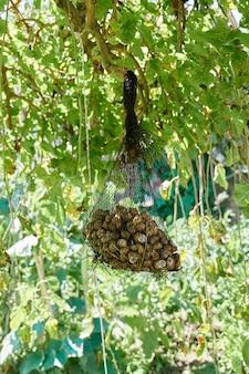 Un sac net d'escargots comestibles frais vivants suspendu à un arbre