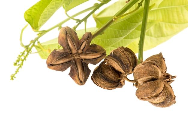 Sacha inchi ou plukenetia volubilis, fruits secs et feuilles vertes isolés sur blanc.