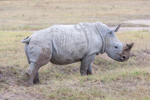 Safari - rhinocéros sur l'herbe