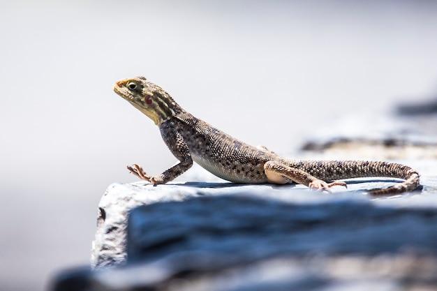 Safari en voiture dans le parc national de nakuru au kenya, afrique. un beau reptile sur un rocher