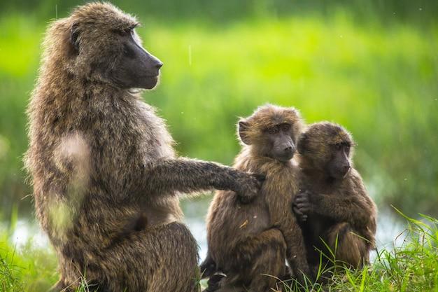 Safari en voiture dans le parc national de nakuru au kenya, afrique. une famille de singes se nettoyant les puces