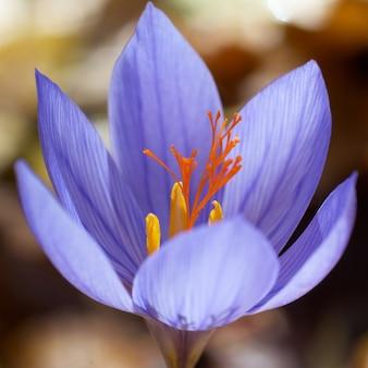 Safran fleur bleue dans la forêt