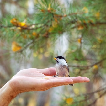 Said mésange est petit oiseau tient la noix dans son bec.