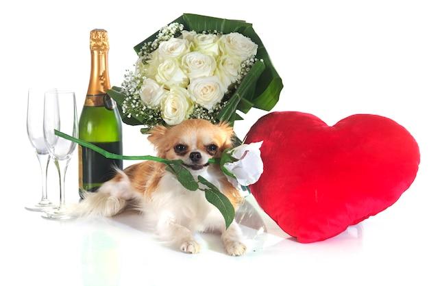 Saint valentin et chihuahua