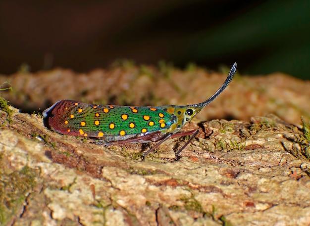 Saiva gemmata lanternes insectes fulgoridae pyrops candelaria
