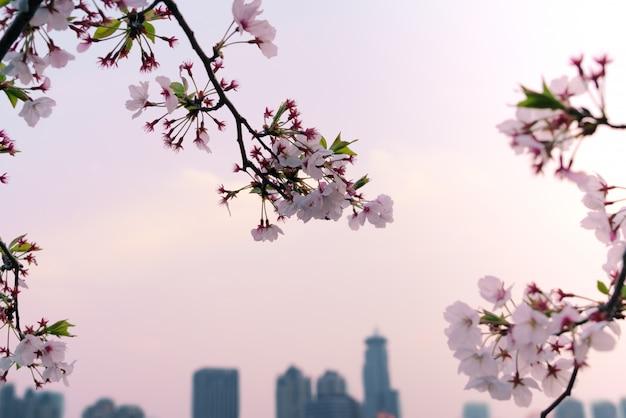 Sakura belle fleur de cerisier au printemps sur fond de paysage urbain