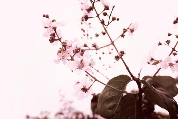 Sakura cherry blossom nature beauté