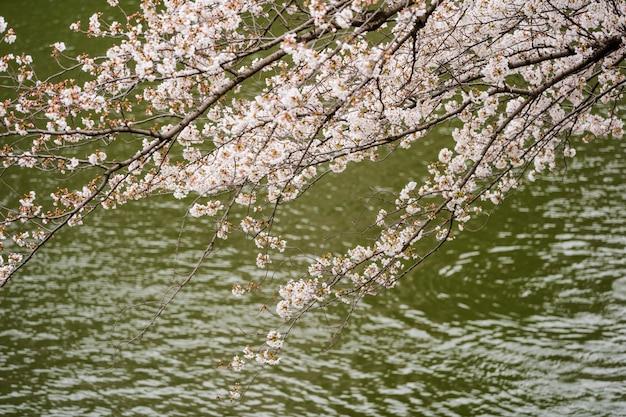 Sakura, festival de fleurs de cerisier avec rivière au parc chidorigafuchi