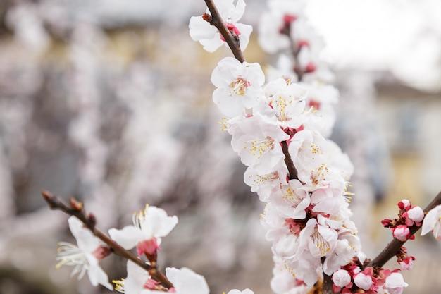Sakura ou fleur de cerisier ou cerise japonaise