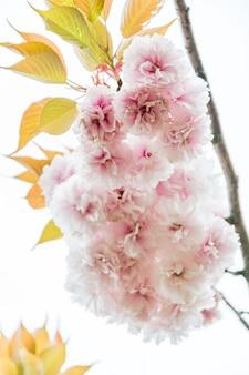 Sakura ou fleur de cerisier dans un fond de style vintage