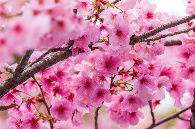 Sakura, fleur de cerisier en fleur au printemps