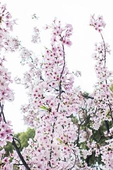 Sakura fleur de cerisier fleur backgrund
