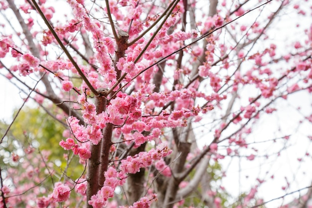 Sakura ou fleur de cerisier ou fleur de cerisier japonais le nom de la commande est rosales, la famille est les rosacées qui fleurissent dans le jardin.