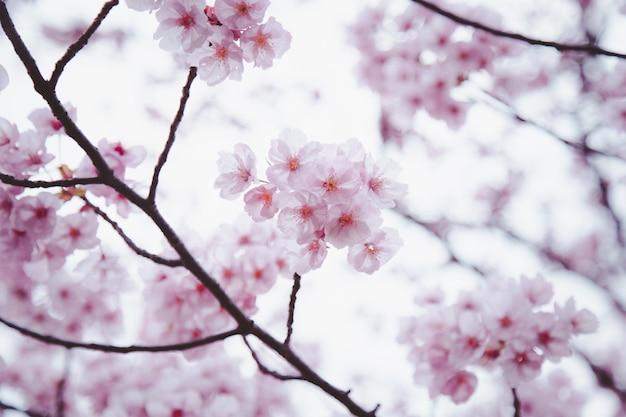 Sakura ou fleur de cerisier ou fleur de cerisier japonais qui fleurit dans le jardin.